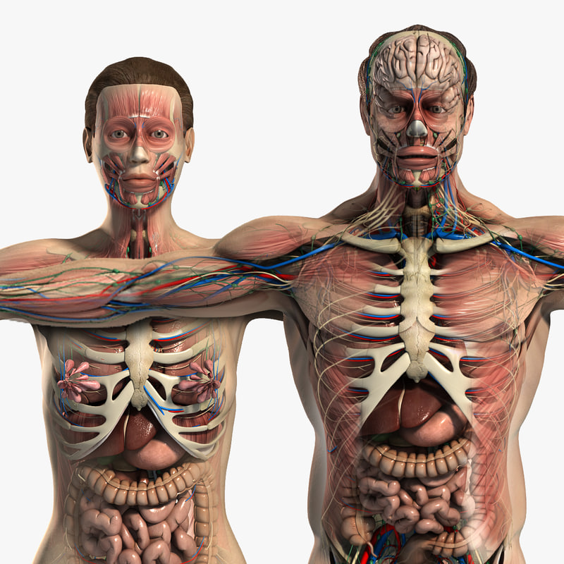 Anatomical models in square search image on TurboSquid